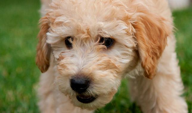 A glimpse of labradoodle pups